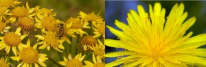 Arnica and dandelion. They aren't just joyful-looking, they're strong.